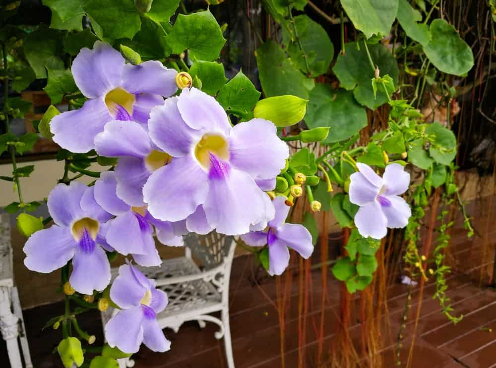 Lavender flowers of Thunbergia laurifolia