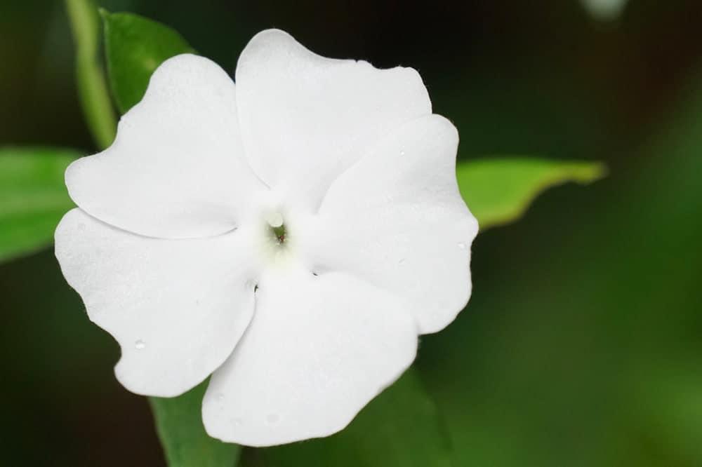 White flowers of Thunbergia fragrans