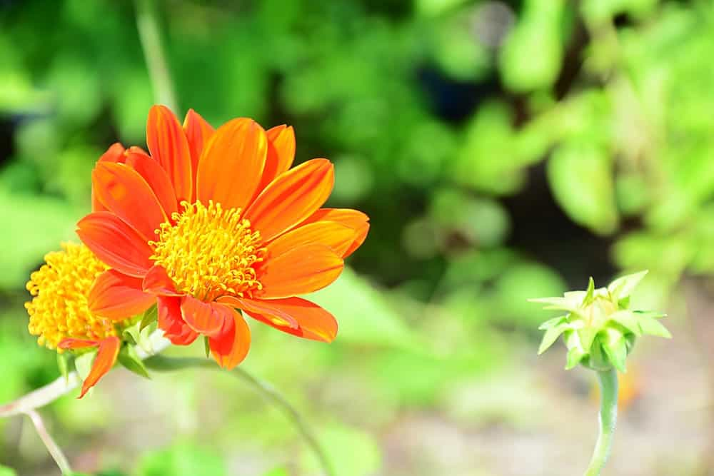 Torch; a variety of the Tithonia plant