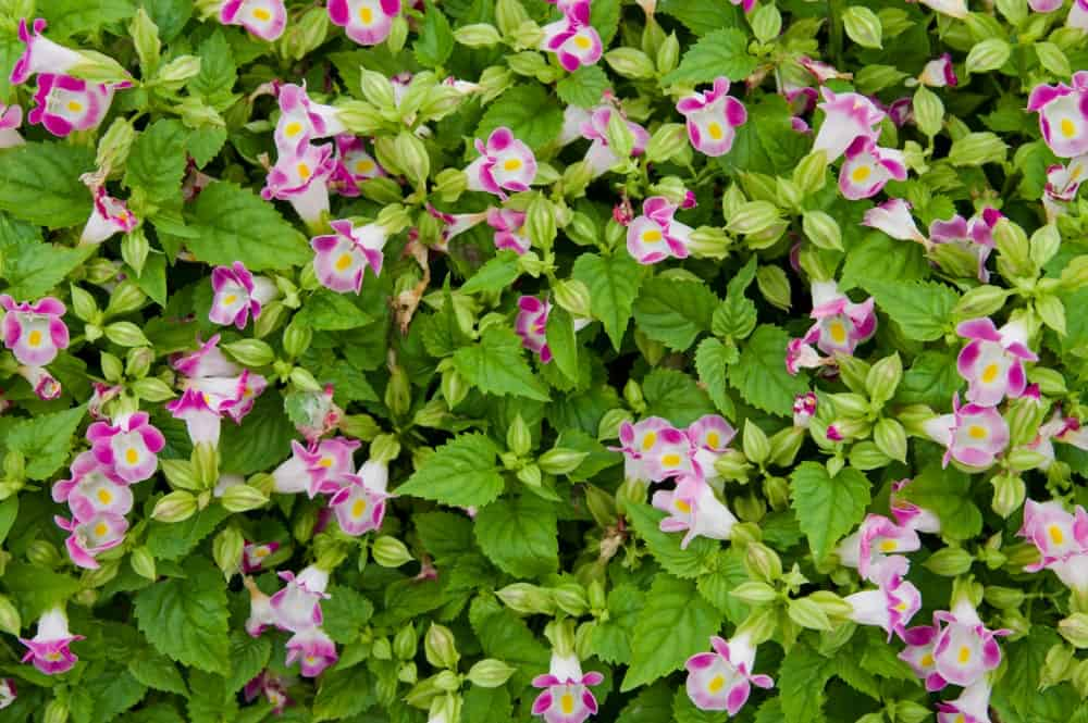 Pink Torenia flowers