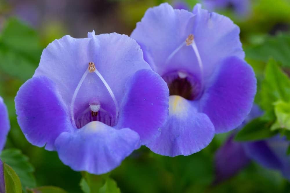 A close-up of blue Torenia flowers
