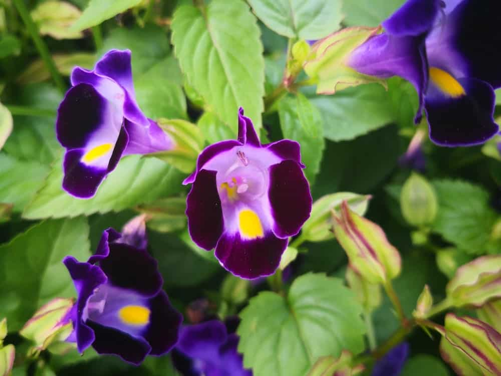 Purple Torenia flowers with green leaves