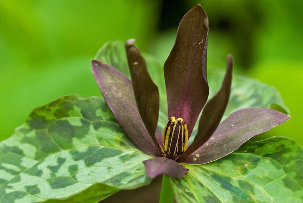 Trillium Flexipes; a variety of the trillium plant