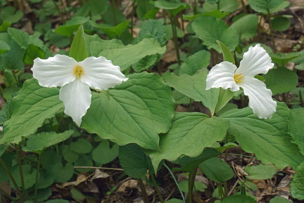 Trillium Grandiflorum; a variety of the trillium plant