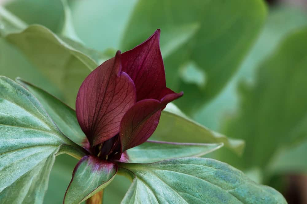 Trillium Recurvatum; a variety of the trillium plant