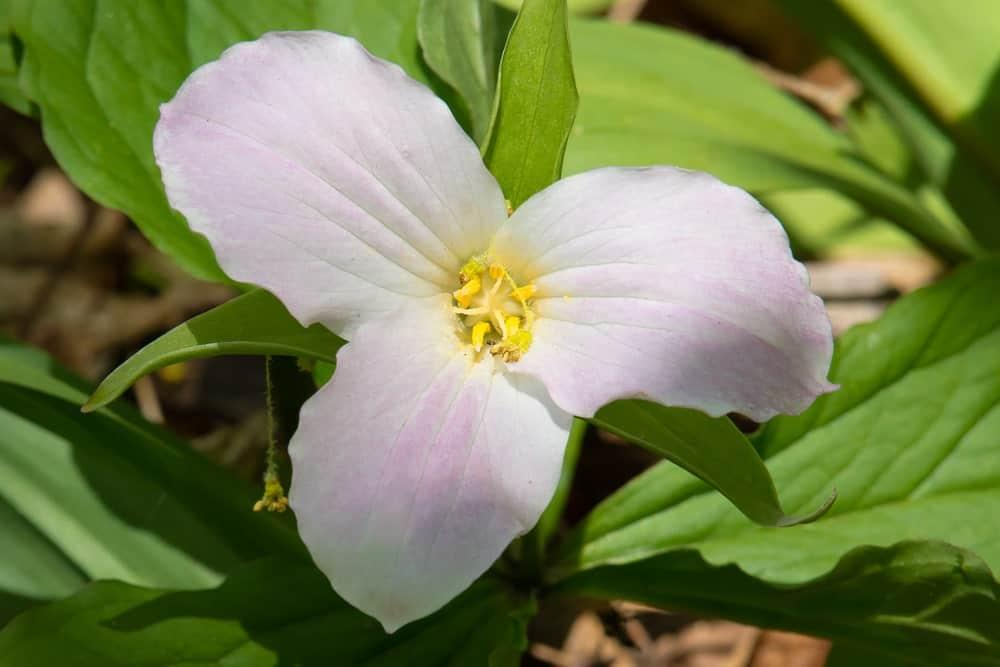 A closeup view of a trillium flower