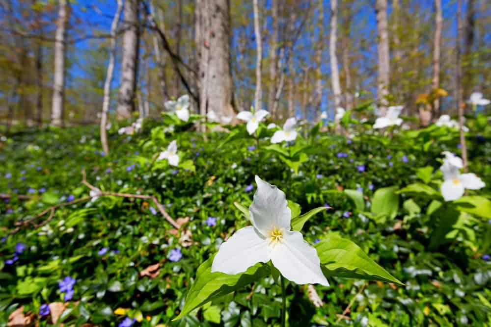 Trillium flowers in a garden