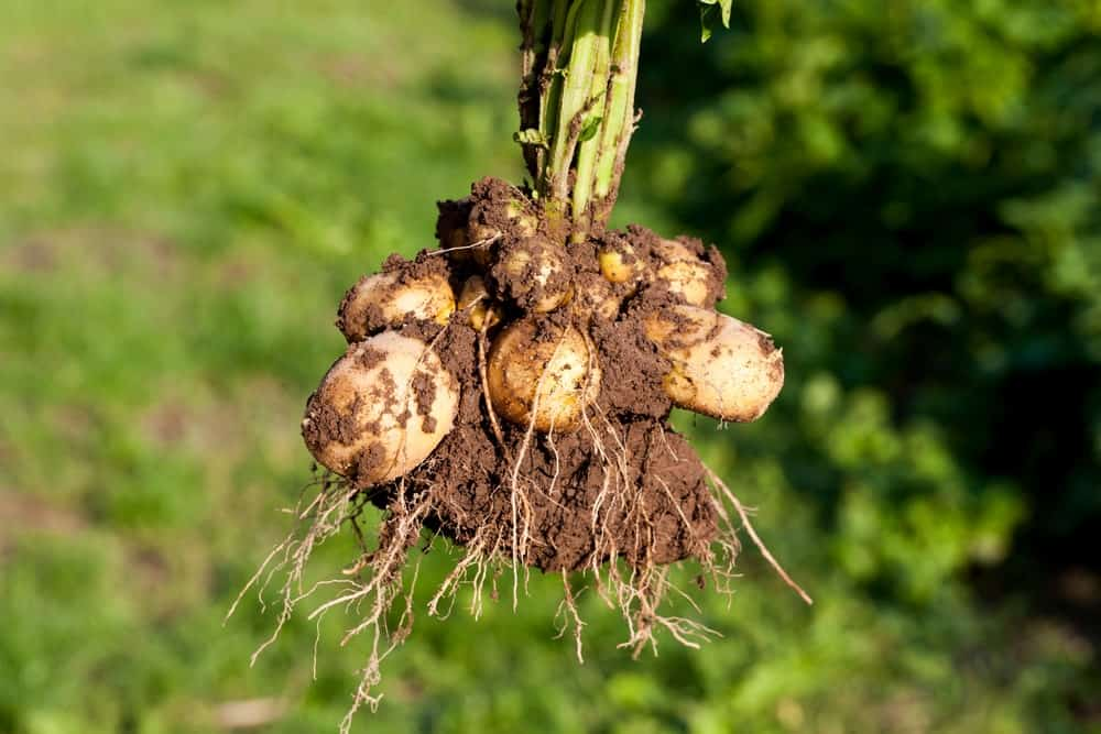 Tubers with roots