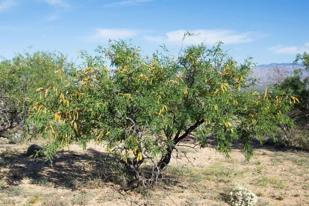 A blooming velvet mesquite tree