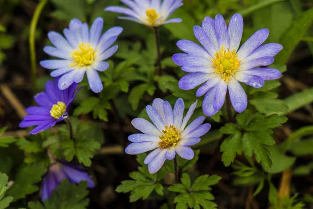 Beautiful windflowers