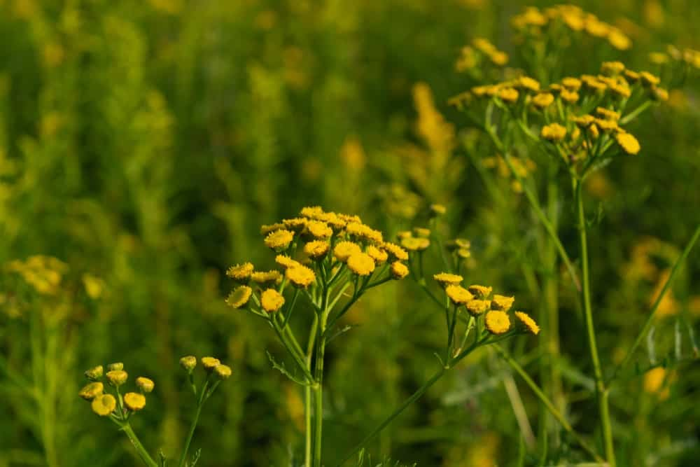 Tansy plant growing in a garden