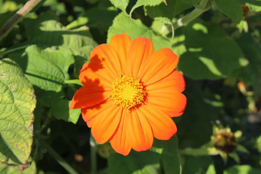 Yellow Torch; a variety of the Tithonia plant
