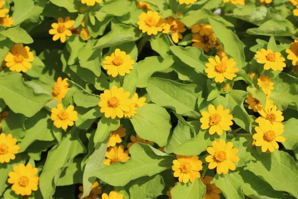Yellow Torenia flowers in a garden