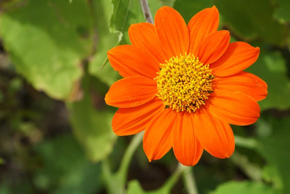 A vivid image of a Tithonia flower that is orange in color