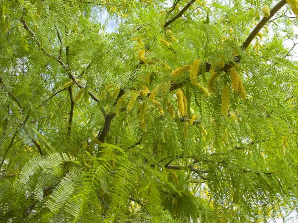 Foliage of a Mesquite Tree