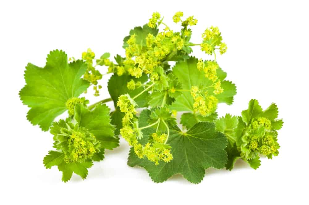 Lady's Mantle on white background.