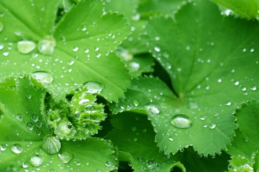 Raindrops on the leaves of Lady's Mantle.