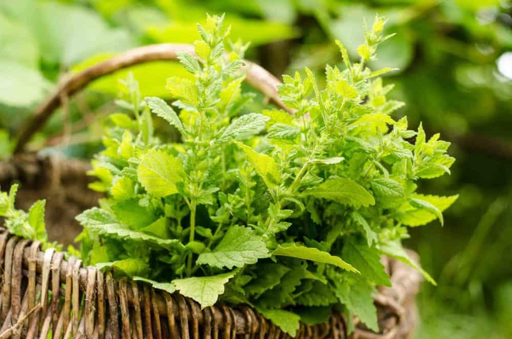 A basket of lemon balm plants.