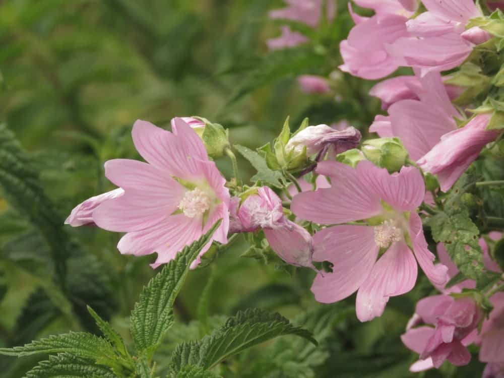 Pink Malva flowers