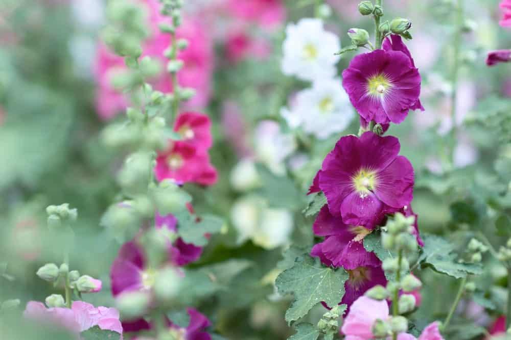 Red violet Malva flowers