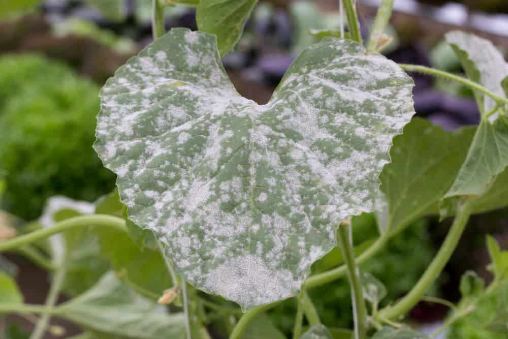 powdery mildew on cucurbits