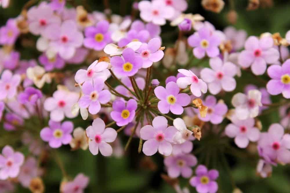 Rock Soapwort Flowers