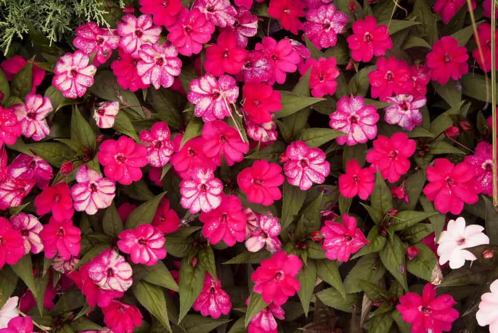 6 Different Types Of Rock Soapwort Flowers