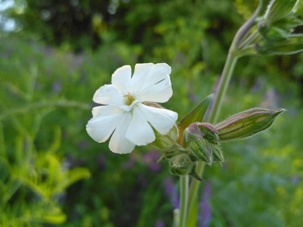 Fragrant Soapwort Flower