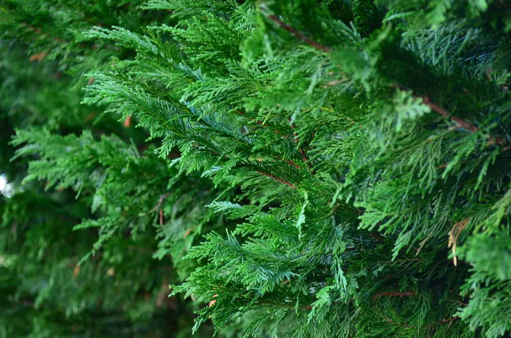 Leyland Cypress Tree