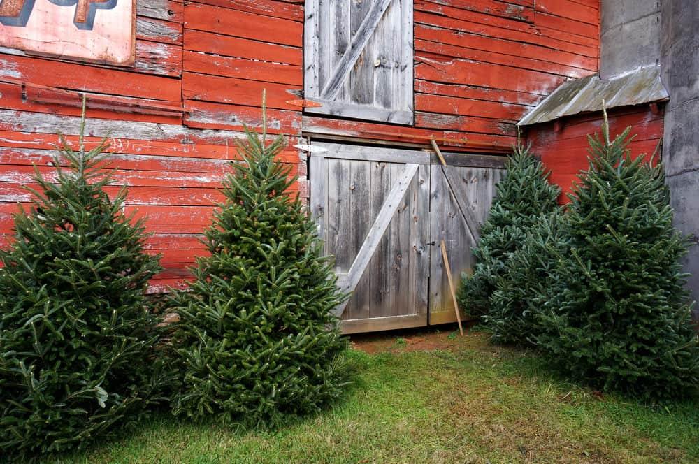 Photo of Fraser Fir Trees