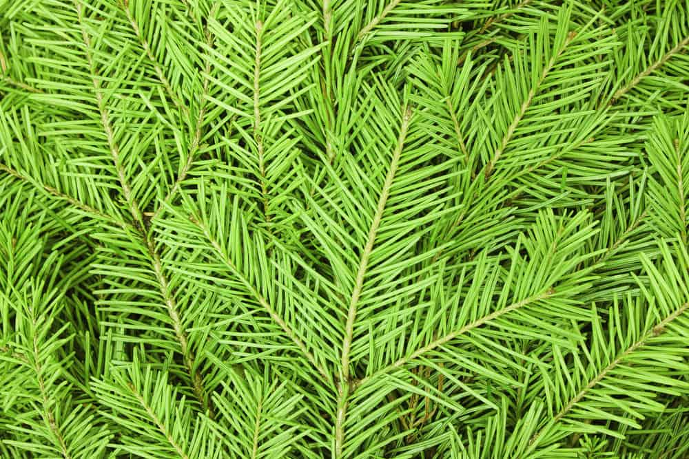 Close up photo of the Noble Fir Tree (branches)