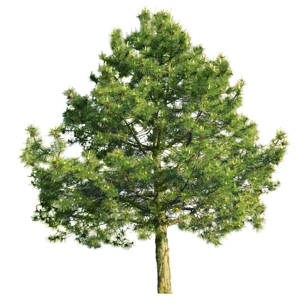 Photo of the Scotch Pine Tree
