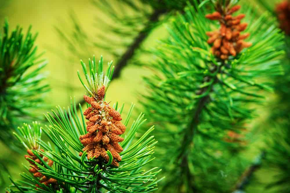 Close up photo of the Scotch Pine Tree