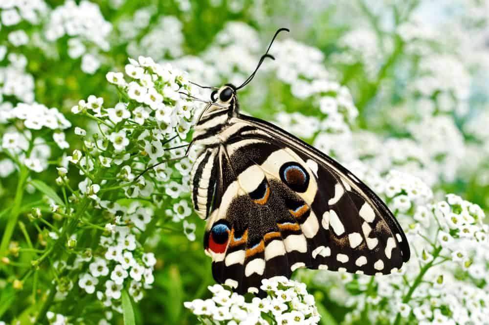 Butterfly on Sweet Alyssum Flowers