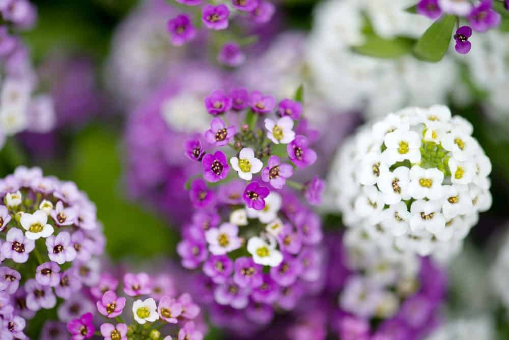 Closeup of Different Types of Sweet Alyssum Flowers