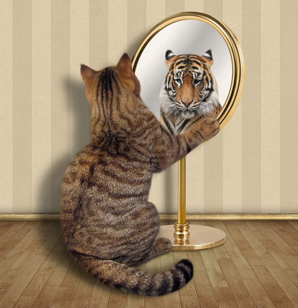 Domestic pet cat looking in mirror showing ferocious tiger