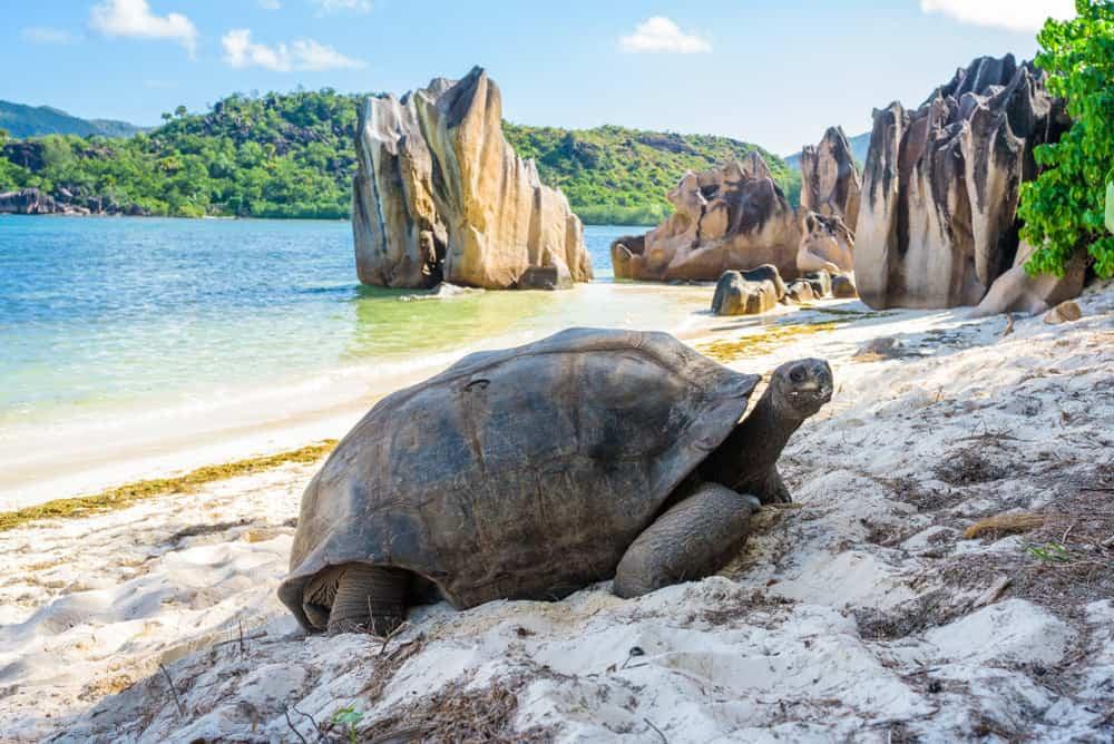 Aldabra giant tortoise. Turtle in Seychelles on the beach near to Praslin
