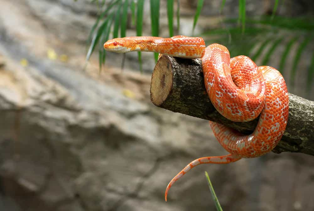 Corn snake on branch in the wild