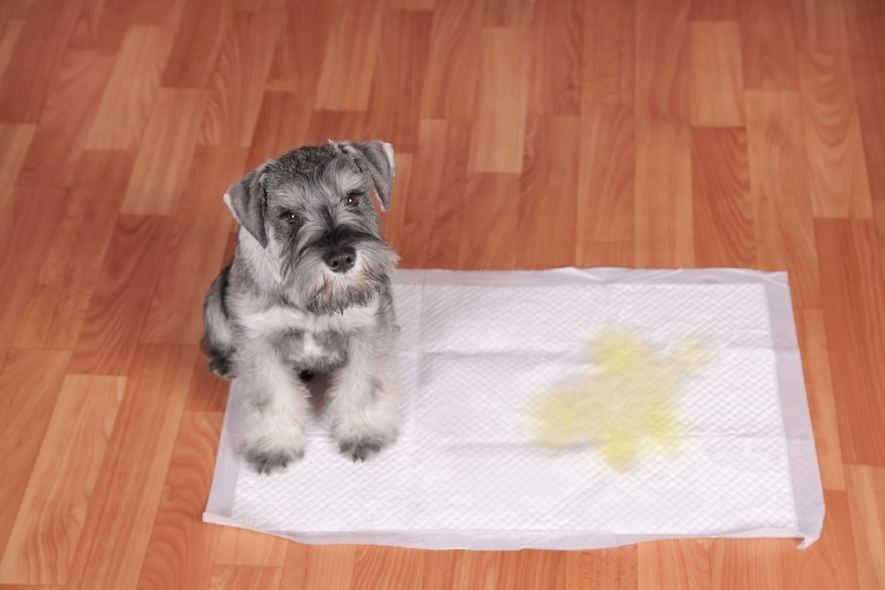 A dog sits at the corner of a soiled urine pad on the floor.