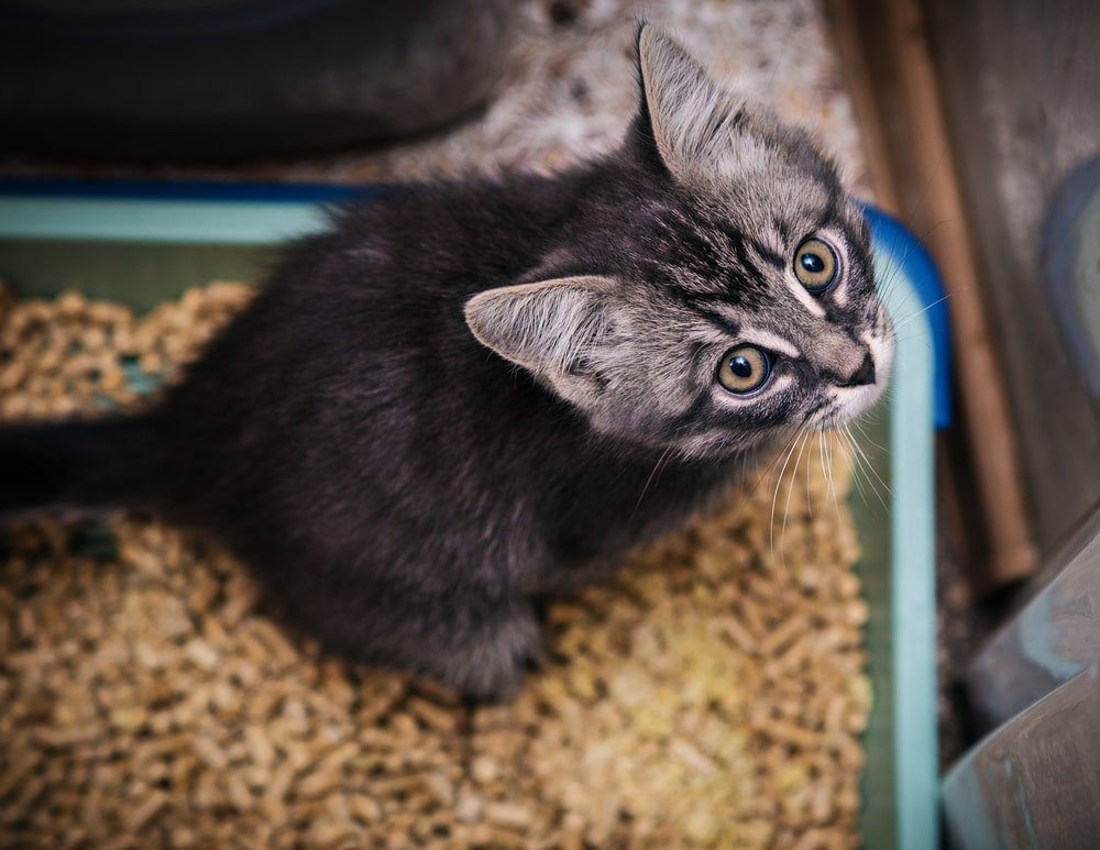 Kitten looking up while sitting on its litter box.