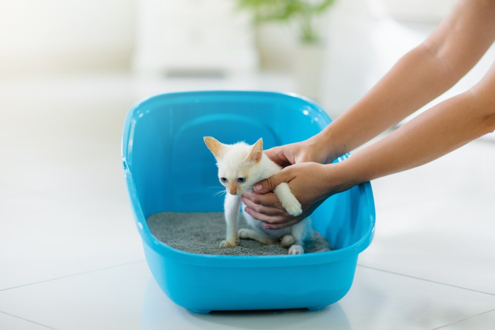Placing a kitty on a litter box.
