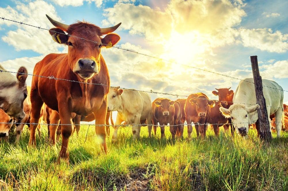 Cattles in a field.