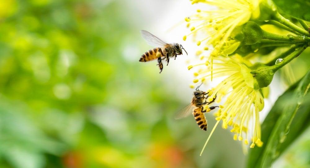 Honeybees on flowers.