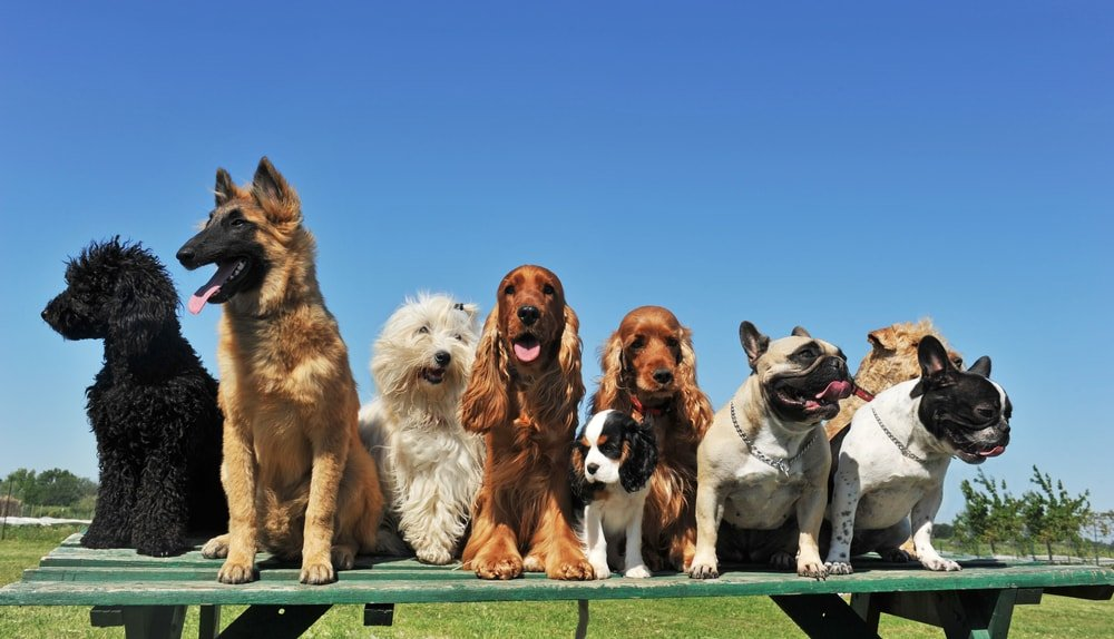 Purebred dogs on an outdoor table.