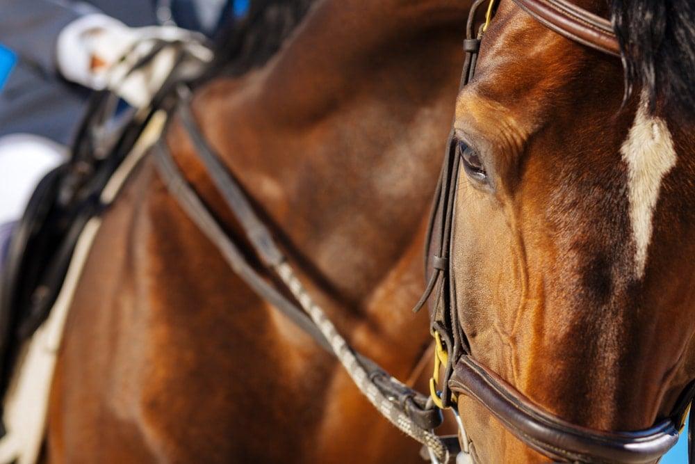 Closeup of a racehorse