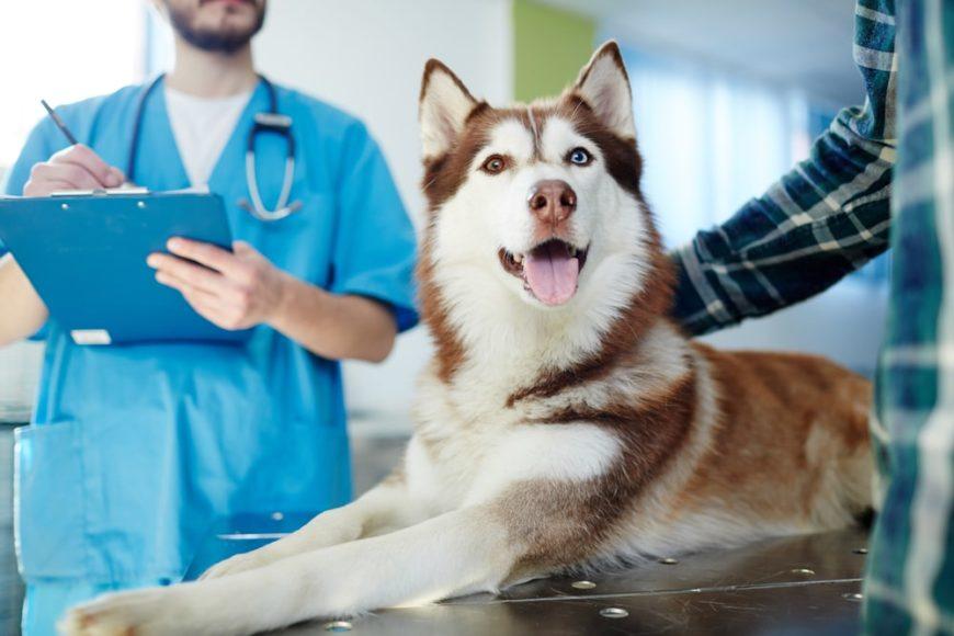Husky sitting on the vet's table.