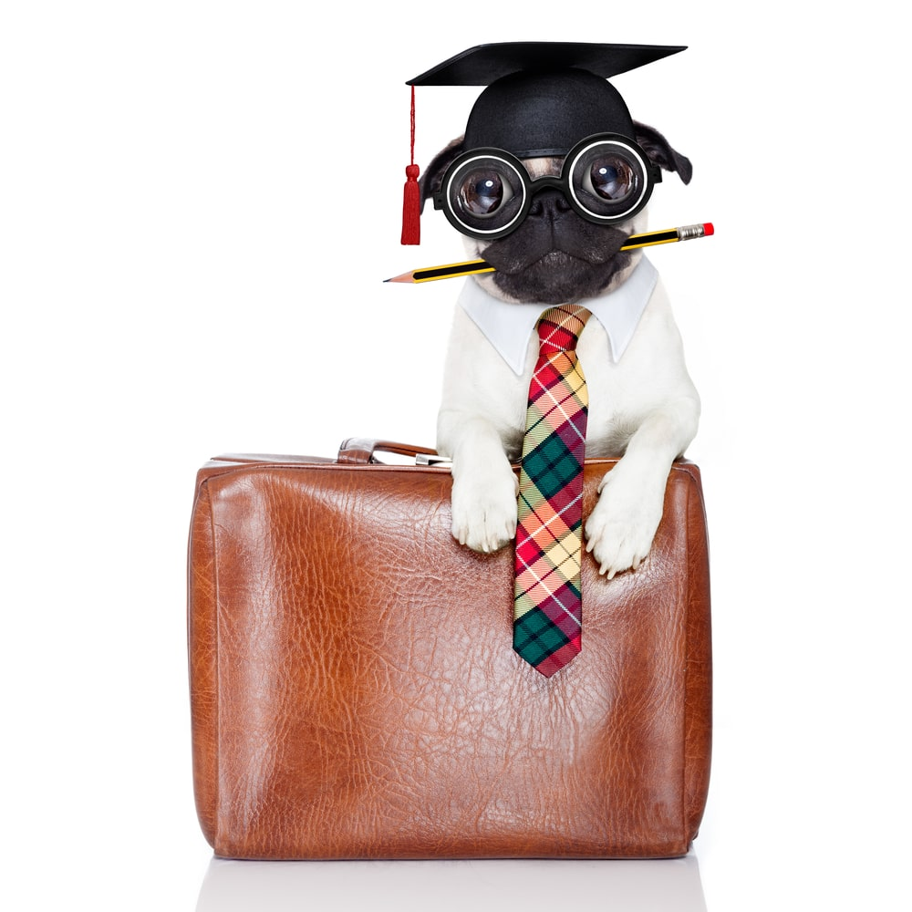 Pug with a pencil between its mouth, wearing a graduation cap, glasses and white shirt and tie and holding a leather bag.