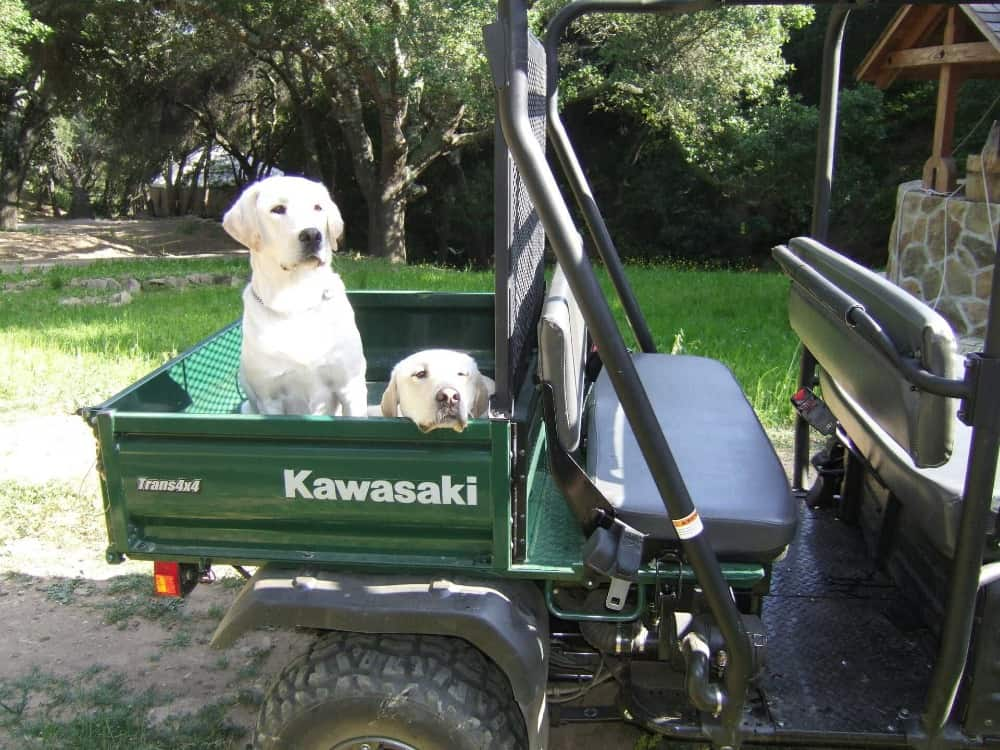 A vehicle carrying two white labrador dogs on its back. Images courtesy of Toptenrealestatedeals.com.