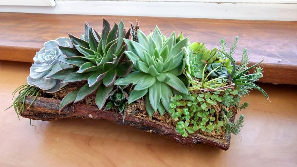 A decorative setup of succulents on a log planter.