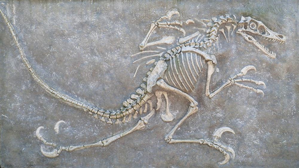 A complete set of fossilized Velociraptor dinosaur bones.
